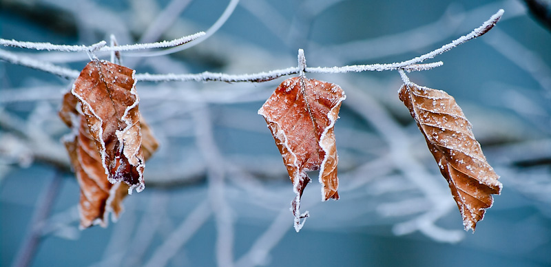 Photo of the Day: Frosty Leaves