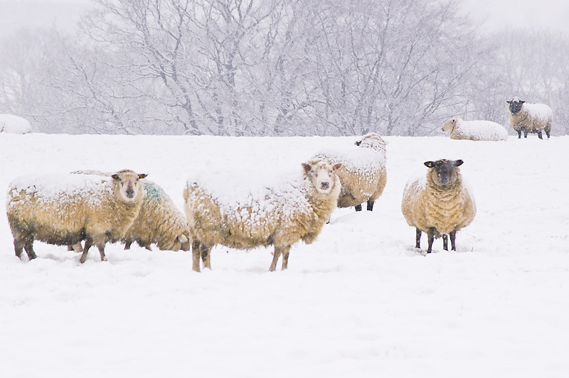 Photo of the Day: More snowy Sheep