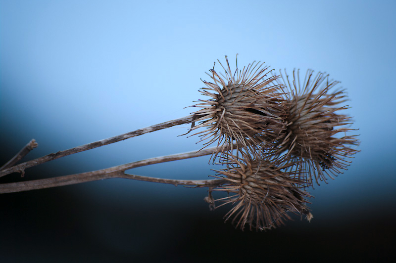 Photo of the Day: Balls of Thorns