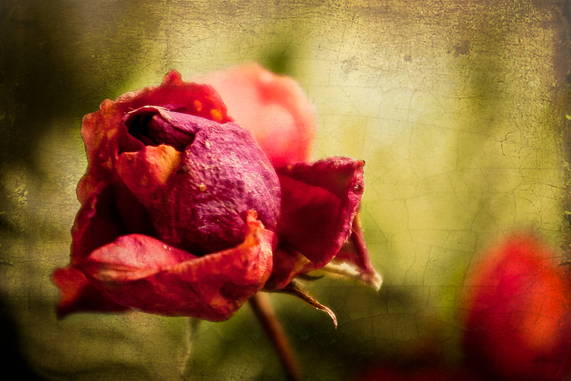 Photo of the Day: Once was a Rose