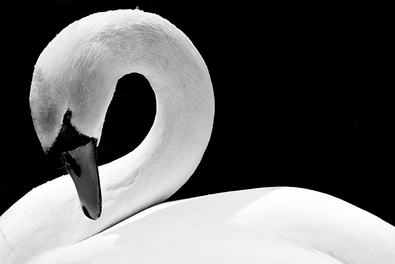 Photo of the Day: Beauty of the Swan