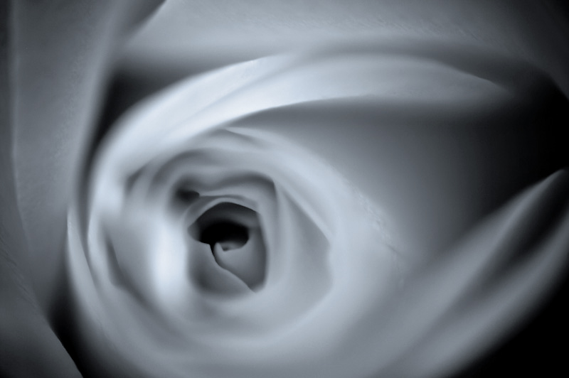 Photo of the Day: Rose Whirl