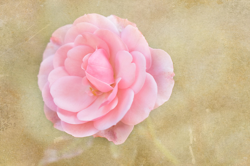 Photo of the Day: Vintage Rose