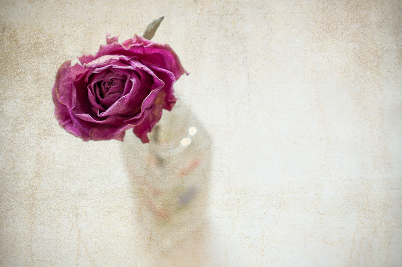 Photo of the Day: A single Rose