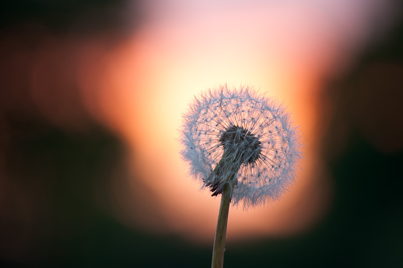 Photo of the Day: Dandelion Glow