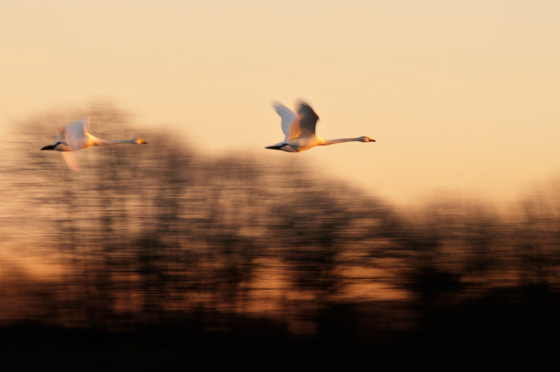 Swans in a Rush