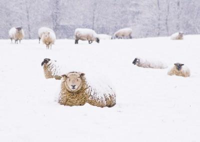 Schafe im Schnee, Schleswig 2010