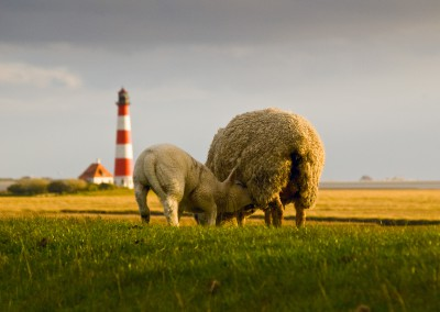 Schafe in Westerhever, 2011