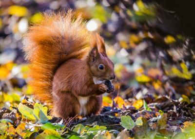 Eichhörnchen, Flensburg - 2014